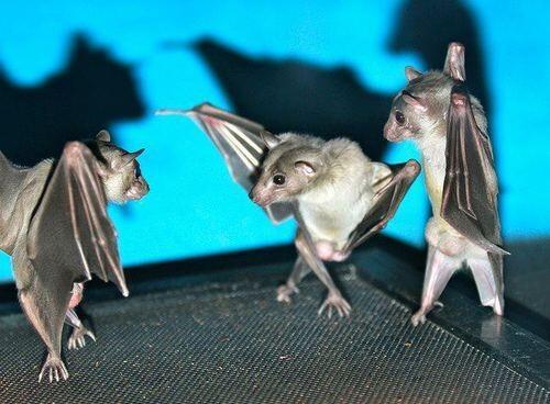 Bad-Ass Bats